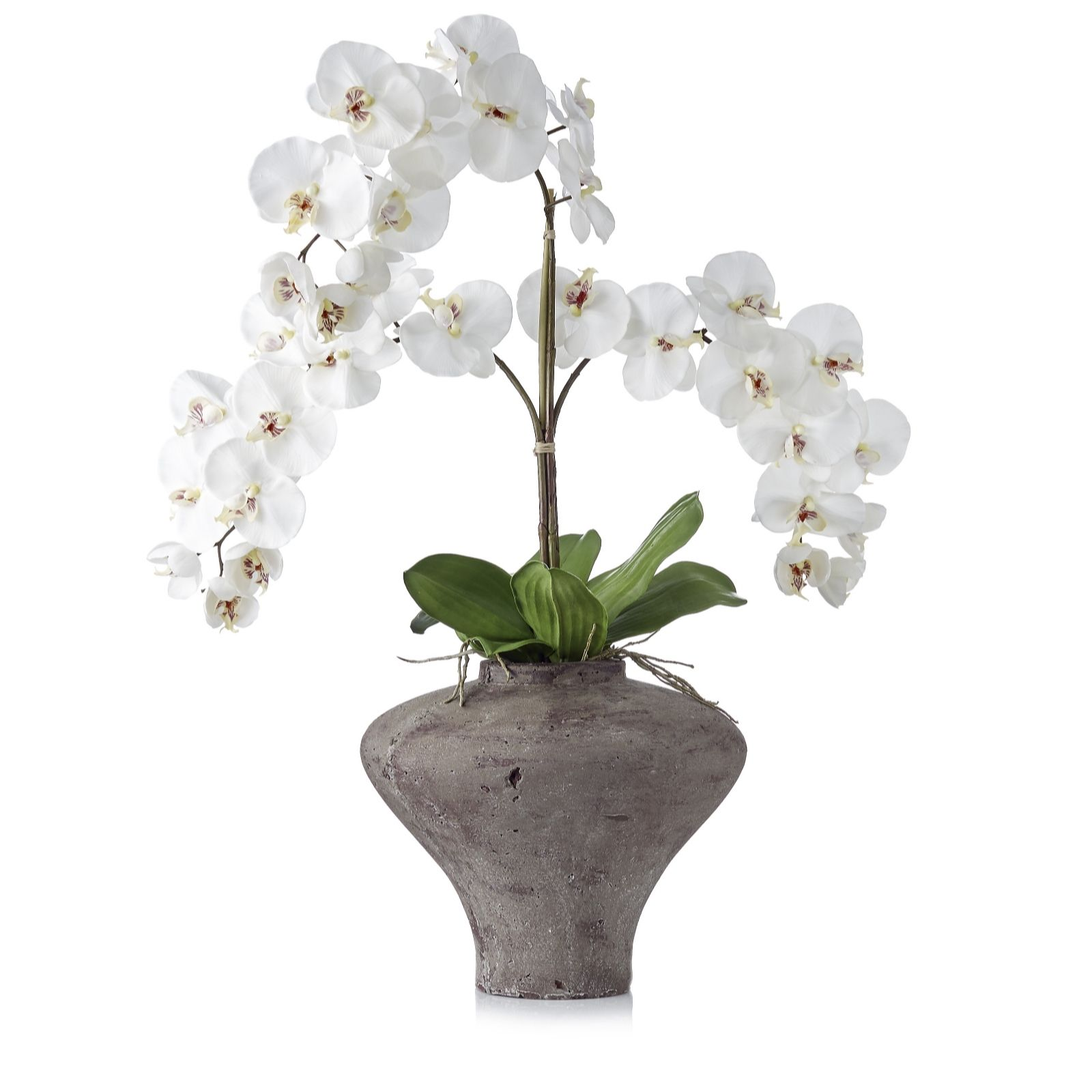 Peony White Phalaenopsis Orchid in Flared Stone Pot