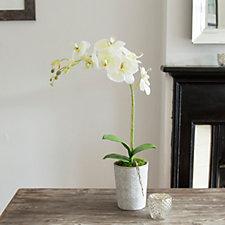 Peony Orchid in Ceramic Pot