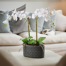 Peony Large Orchid in a Textured Ceramic Pot
