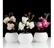 Home Reflections Set of 3 Mini Orchids in Pots