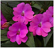 Cottage Farms 3-Piece Amethyst Glow SunPatiens - H310902