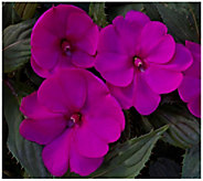 Cottage Farms 3-Piece Bella Grape SunPatiens - H310904