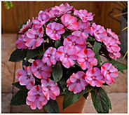 Cottage Farms 3-Piece Candy Kisses SunPatiens - H310908