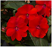 Cottage Farms 3-Piece Cherry Bomb SunPatiens - H310910