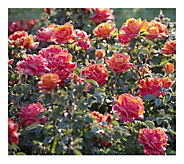 Cottage Farms 2-Piece Sunsation Rose - H290912