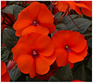 Cottage Farms 3-Piece Electric Orange SunPatiens - H310912