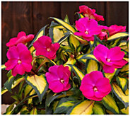 Cottage Farms 3-Piece Pink Lightning SunPatiens - H370912