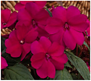 Cottage Farms 3-Piece Merlot Magic SunPatiens - H310916