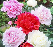 Cottage Farms 4-Piece Classic Peony Value Mix - H366017