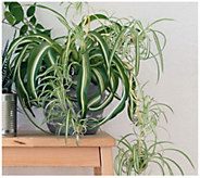 Cottage Farms Spider Plant - H310920