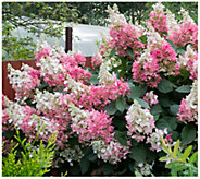 Cottage Farms Berry White Hydrangea - H310924