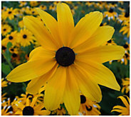 Cottage Farms 4-Piece Goldsturm Rudbeckia - H310926