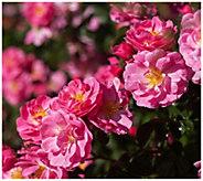 Cottage Farms 2-Piece Enduring Hope Rose - H370930
