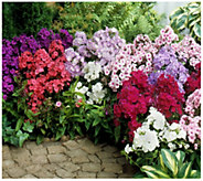Cottage Farms 10-Piece Tall Fragrant Phlox Mix - H310934