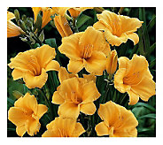 Cottage Farms 6 Piece Stella DOro Daylily Collection - H357234