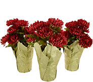 Set of 3 Harvest Mum Plants by Valerie - H216856
