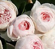Cottage Farms Earth Angel Parfuma Rose - H373073