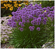 Cottage Farms 3-Piece Millennium Allium - H290874