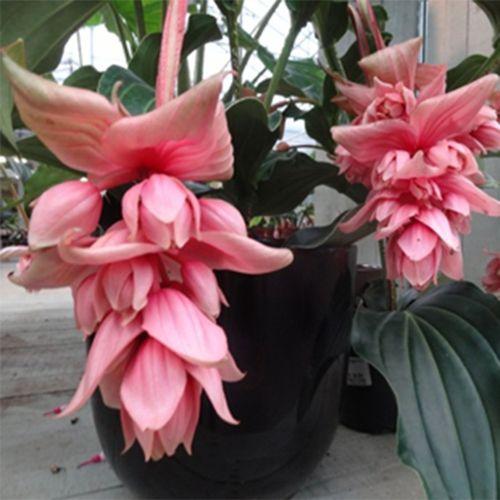 Hayloft medinilla dolce vita pianta in vaso con fiori a for Pianta ornamentale con fiori a grappolo profumatissimi