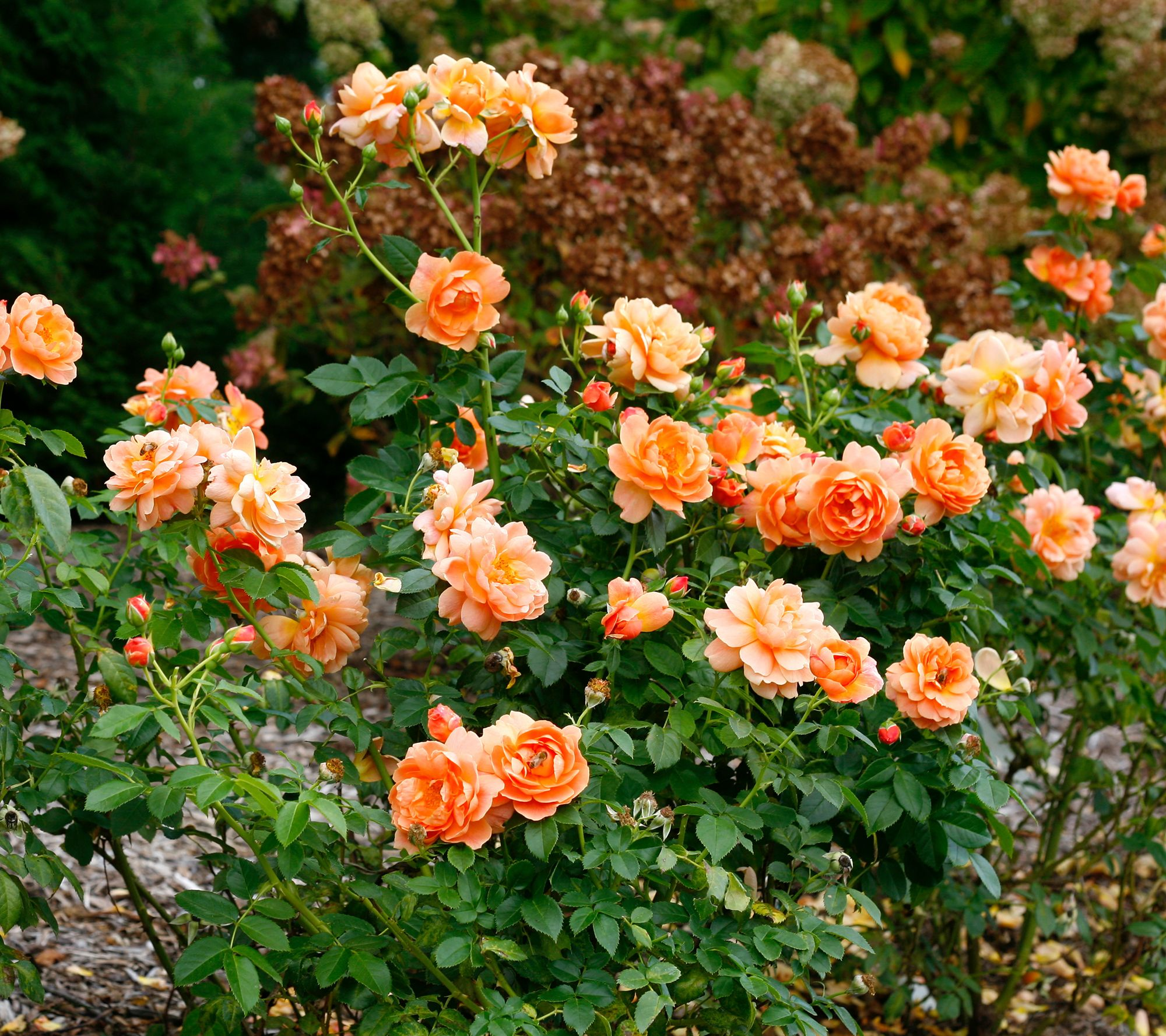 Roberta S 1 Piece Proven Winners At Last Rose Qvc Com