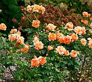 Robertas 1-Piece Proven Winners At Last Rose - M67201