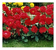 Cottage Farms 6-Piece Red Magic Groundcover Rose Collection - M107902