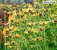 Cottage Farms 3-Piece Little Henry Rudbeckia Plants - M67003