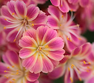 Hort Couture 3-Piece Lewisia Jewels Plant Collection - M67404