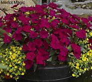 Cottage Farms 8-piece Hearts Desire SunPatiens Collection - M43508