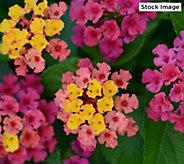 Cottage Farms 3-Piece Non-Stop Rose Bloomify Lantana - M67213