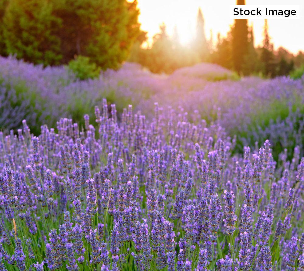 Cottage Farms 3 Piece Jumbo Annet Lavender Qvc Com