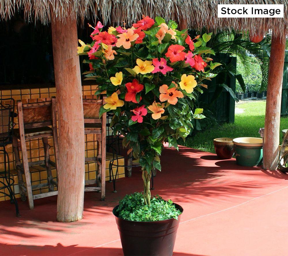 Hibiscus Braid Plant Caldwellcountytxoemcom