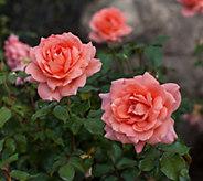Robertas Easy Elegance Sweet Fragrance Shrub Rose - M61827