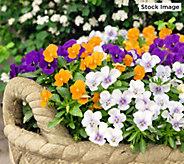Robertas 6-Piece Fragrant Penny Series Viola - M49134