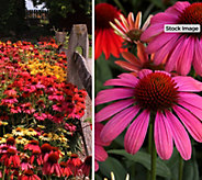 Cottage Farms 4-Piece Ultimate Rainbow Coneflowers - M61338