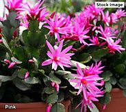 Robertas 2-Piece 2-in-1 Holiday Cactus - M61638