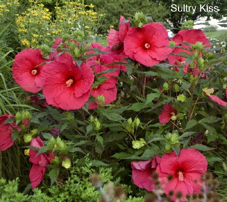 Cottage Farms Starry Night Hibiscus