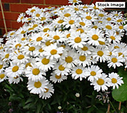 Cottage Farms 4-Piece Perpetuals Everblooming Shasta Daisies - M61744