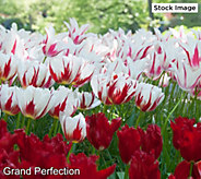 Robertas 30-Piece Triumph Tulip Collection - M59450