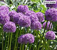 Robertas 4-Piece Allium Giganteum - M59455