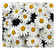 Cottage Farms 3-pc. Leucanthemum Becky Shasta Daisy - M105857
