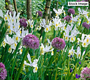 Robertas 48-Piece Dutch Iris Mix - M59459