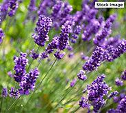 Cottage Farms 3-Piece Early Avignon Lavender Set - M61562