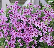 Robertas 4-Piece Citronella Scented Geranium - M67162