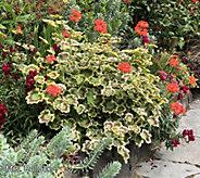 Robertas 6-Piece Fancy Leaf Heirloom Geranium - M67163