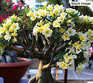 Robertas 1-Piece Double Flowered African Adenium - M61464