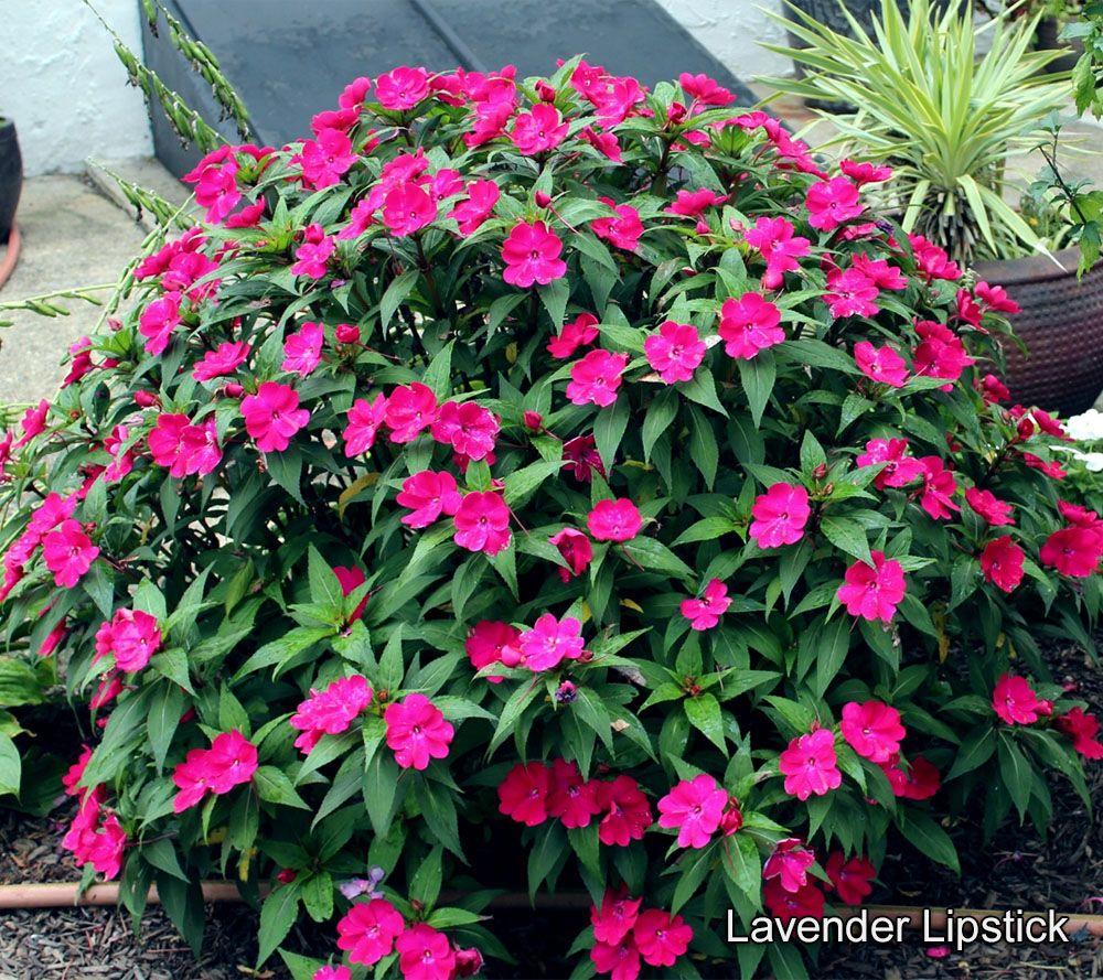 Cottage Farms 6-piece Color Jubilee SunPatiens — QVC com