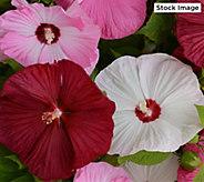 Robertas 1-Piece 4-In-1 Hardy Honeymoon Hibiscus - M61668