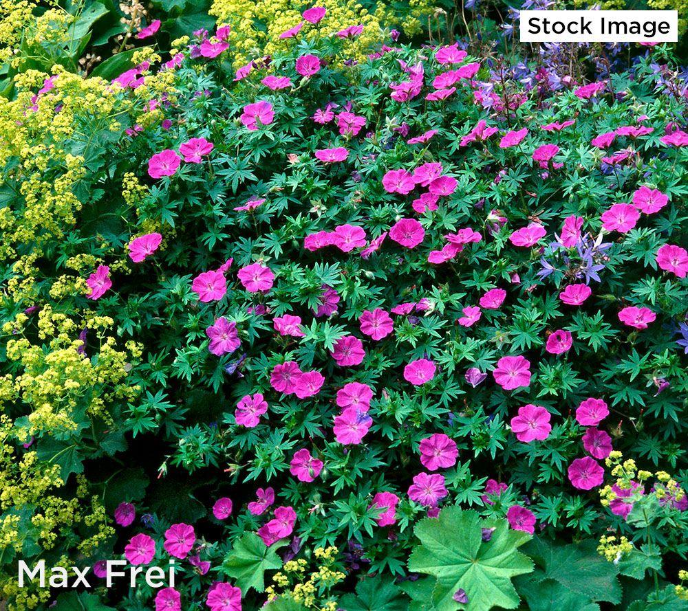 Roberta S 4 Piece Winter Hardy Geranium Qvc Com