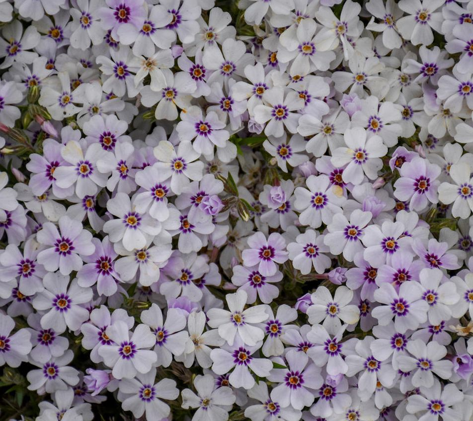 Cottage Farms 5-Piece North Hills Phlox — QVC com